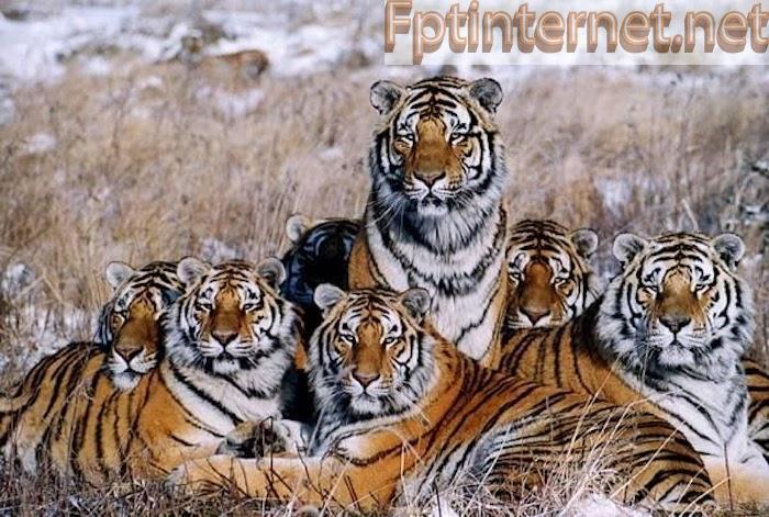 Mơ thấy cả bầy hổ đi vào nhà