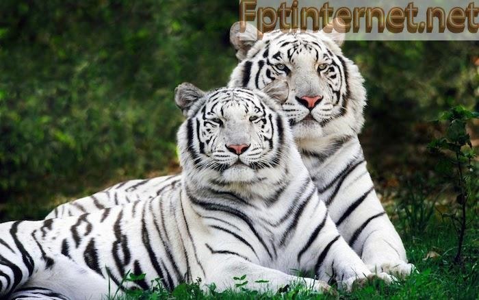 Có bao giờ bạn ngủ mơ thấy hổ trắng?